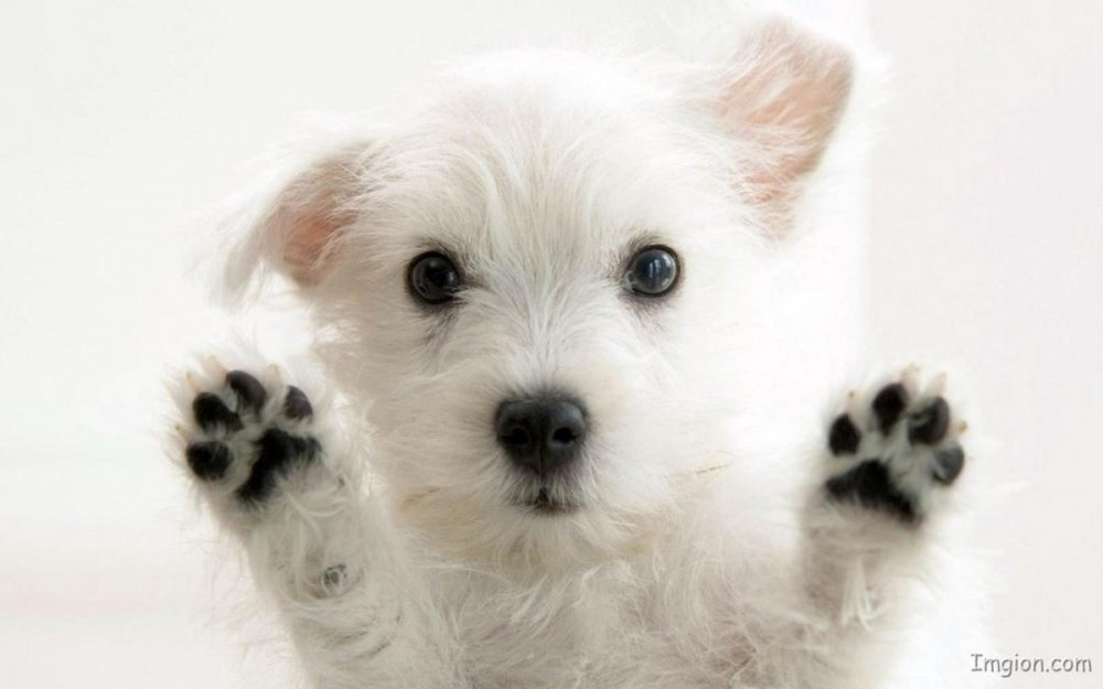 White-Cute-Puppy-.jpg